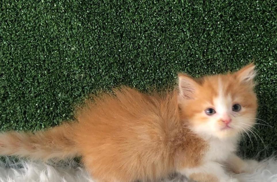 Kucing Persia / JUAL KUCING / SUPER CAT / KITTEN