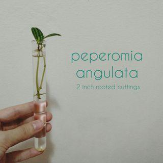 Peperomia Angulata cuttings