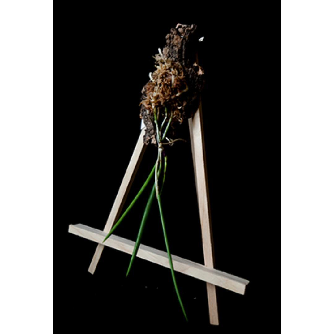 Brassavola perrinii Orchid (Easy Grower)