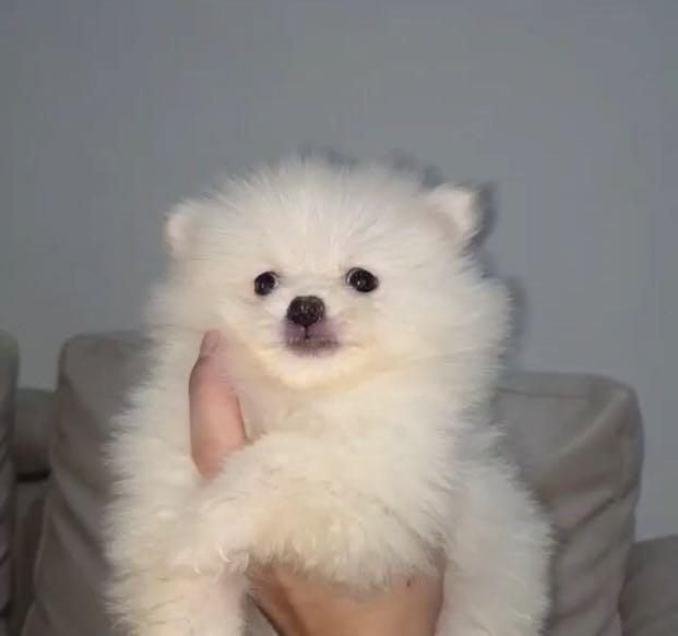 Dijual anjing super minu pom white 2bln JANTAN