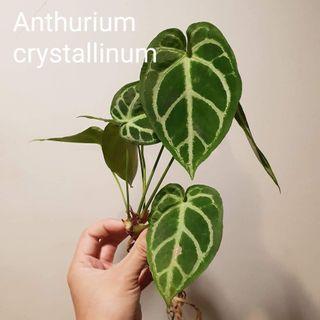 Anthrudium crytallium