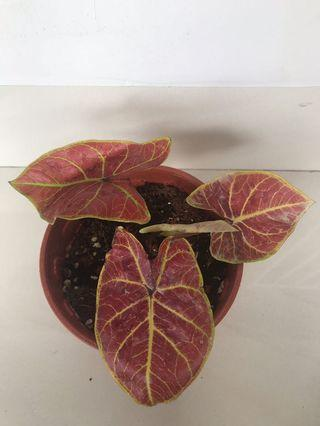 Caladium new wave TM