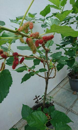 Fruiting Mulberry Plants 桑椹树u