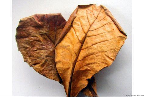 Ketapang Leaves Betta