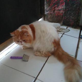 Kucing Persia Peaknose Longhair