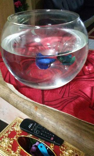 Small 2 fish with big glass pot rm 30 only