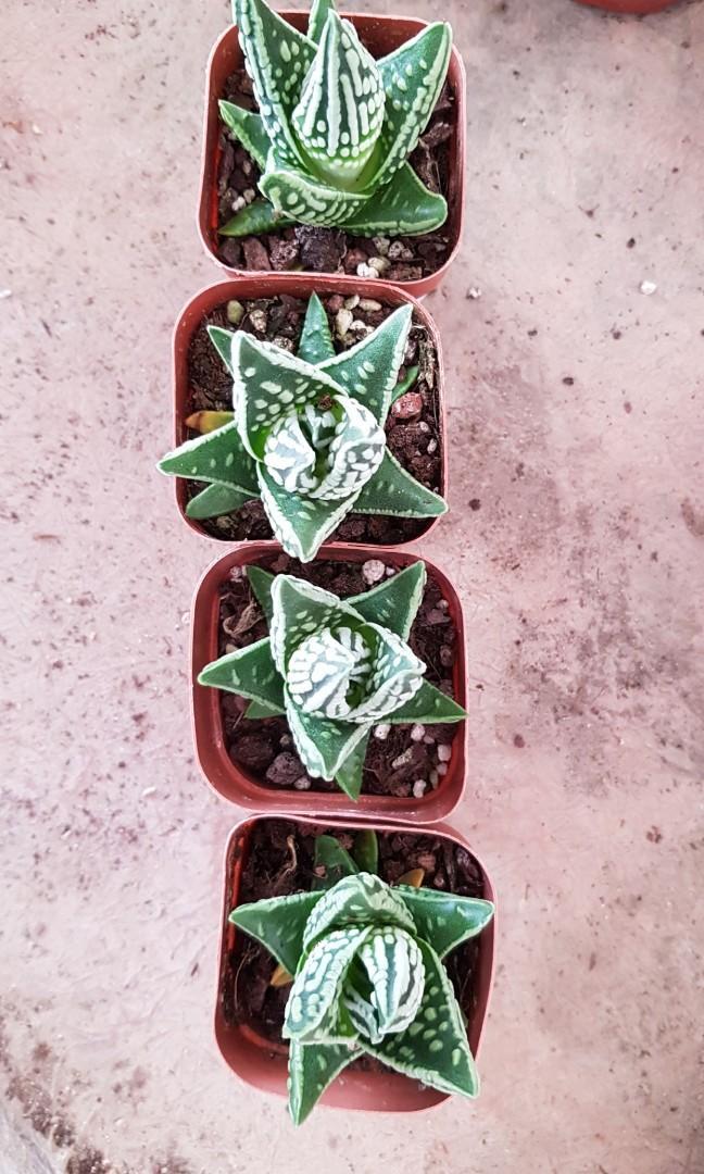 Plant China Succulent Haworthia Emperor Tears Of Angel 皇帝 7cm Pot Gardening Plants On