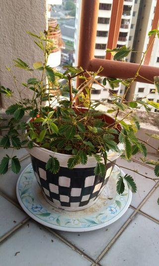 Shay plant when u tough leaves close