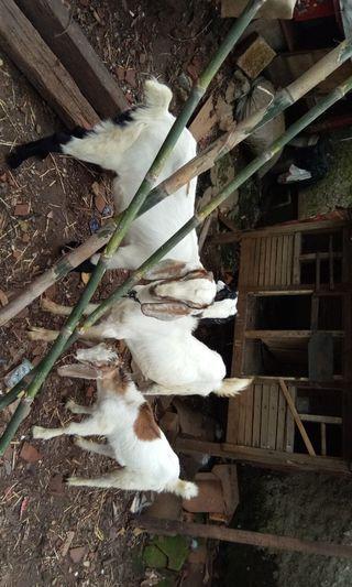 domba/kambing jawa randu 800rb bsa aqiqah