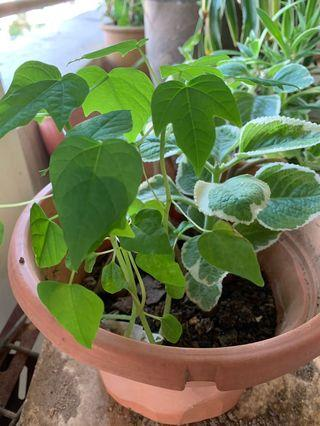 Free papaya and Indian borage plant