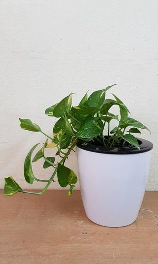 Money plant in self watering  plant pot ,natural air purifier, indoor plant, office home  decor