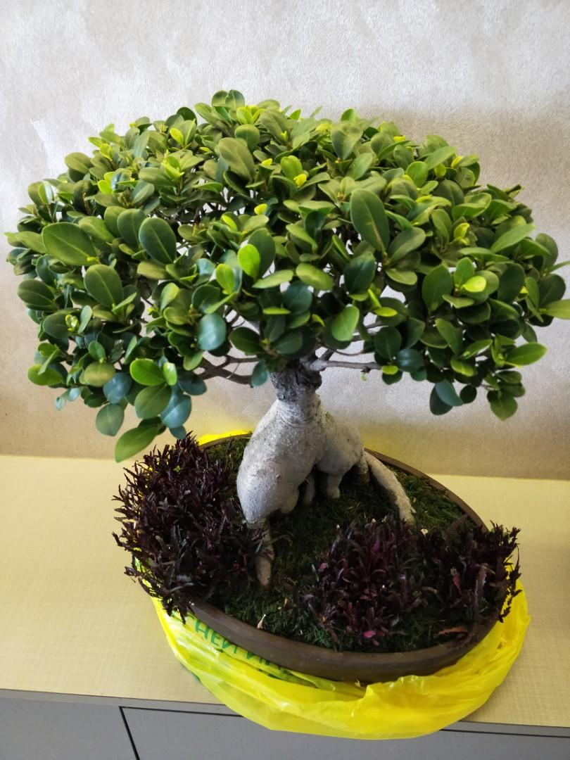 Beautiful bonsai plant with pot for sales