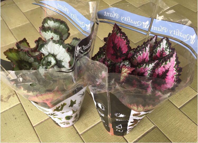 Begonia begonias Rex painted leaf