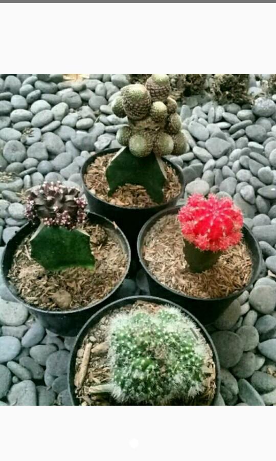 Paket kaktus premium isi 4 jenis berbeda