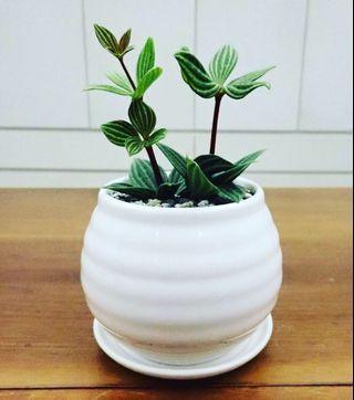 Peperomia Puteolata. Real houseplant.