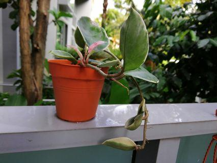 Hoya Carnosa-rooted healthy pest free