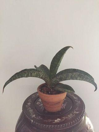 Sansevieria Dragon Wing snake plant mother in law tongue air purifying plant