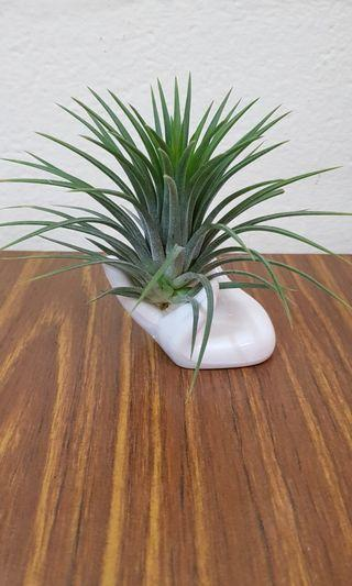 Air Plant, ceramic holder, gift, home office decor,