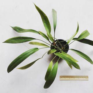Anthurium vittarifolium