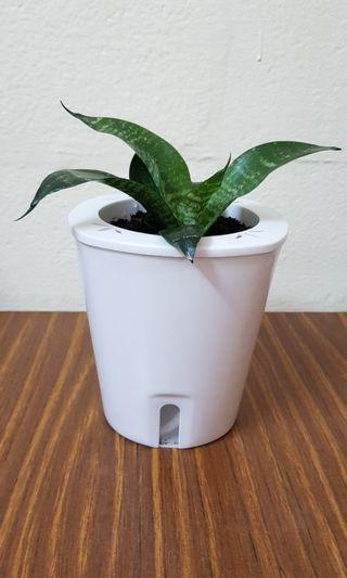 Flower Pot, snake plant in self watering plant pot, natural air purifier plant, outdoor indoor plant.