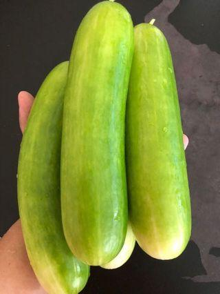 Cucumber seed