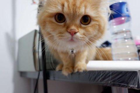 Open Adopt Kucing Persia Betina
