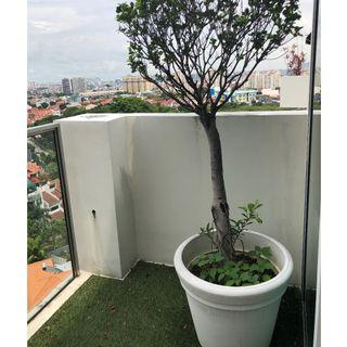 Trees in a Big pot / FAST DEAL $50 for both