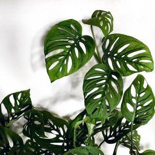 窗孔龜背芋 洞洞蔓綠絨 龜背芋 龜背葉 龜背竹 蔓綠絨 雨林植物 熱帶雨林 觀葉植物 /園藝 植物 盆栽