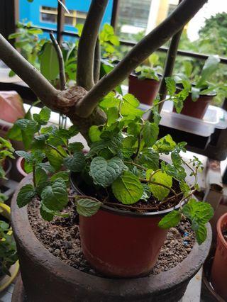 🚚 Mint Plant