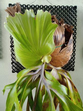 Staghorn fern, house plant