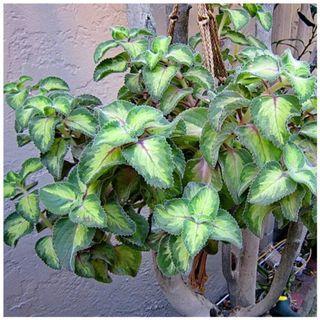 斑葉到手香 鑲邊到手香 到手香 左手香 過手香 廣藿香 香草 香料 多肉 精油 驅蟲 防蚊 /園藝 植物 盆栽