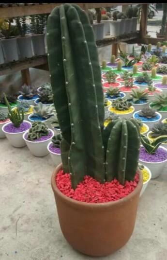 Kaktus Koboy