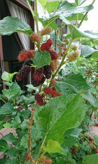 🚚 Fruiting Mulberry 桑椹树