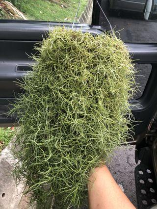 Air plant . Very big and busy