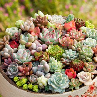 🚚 300 Seeds / Pack Mix Succulent Succulent plants Seeds