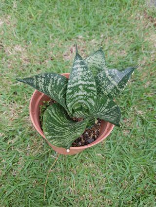 Sansaveria sp. (Bird nest snake plant)