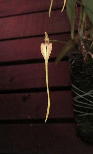 Bulbophyllum obovatifolium