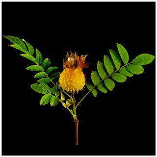 繅絲花 刺莓果 佛朗果 刺梨 野刺梨 山刺梨 薔薇科 薔薇 果樹 /園藝 植物 盆栽