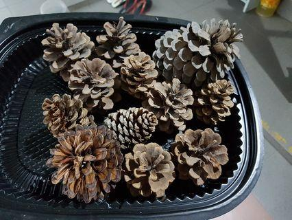 12 Large Pine Cones