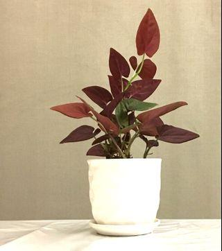 $1 off for Repeat Buyers: Plant - Syngonium erythrophyllum Birdsey ex G.S.Bunting