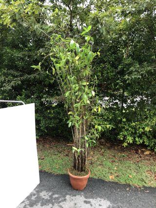 🚚 Japanese tall bamboo 2m and above