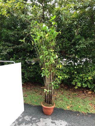 Japanese bamboo 1.9-2m