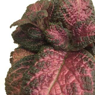 $1 off for Repeat Buyers: Plant - Episcia