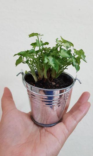 Potted Plant, bonsai, desktop plant, indoor plant, office, shop, home, kitchen decoration.