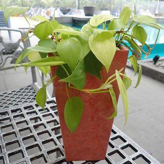 Philodendron Neon.