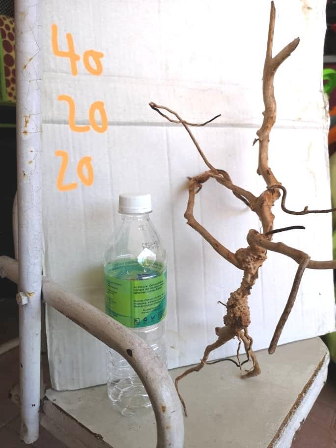 Red moor wood , spider wood, spiderwood, driftwood
