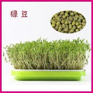 Microgreens sprouts - green beans 芽苗菜种子 - 绿豆