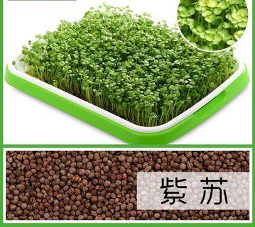 Microgreens sprouts - Perilla 芽苗菜种子 - 紫苏