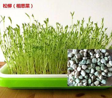 microgreens sprouts - Pine willow seeds 芽苗菜 - 松柳种子
