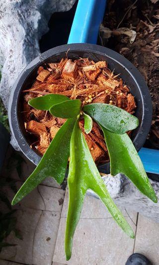 Staghorn Platycerium Alcicorne Madagascar Fern ferns